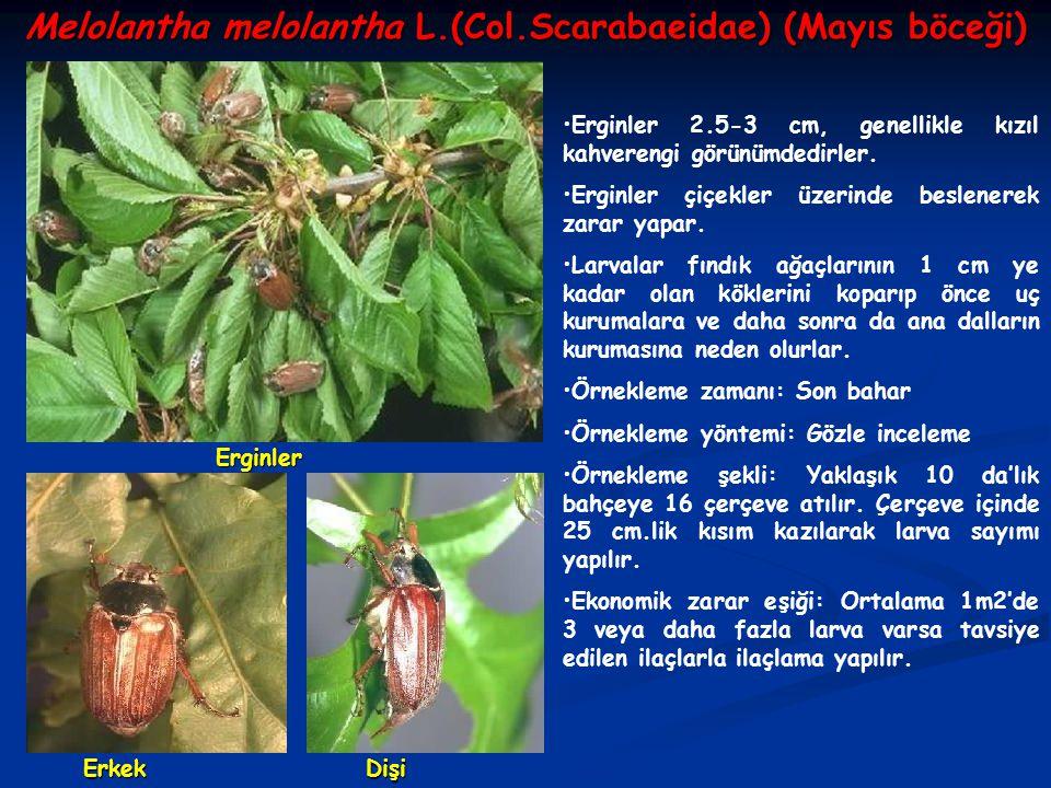 Melolantha melolantha L.(Col.Scarabaeidae) (Mayıs böceği) Erginler ErkekDişi Erginler 2.5-3 cm, genellikle kızıl kahverengi görünümdedirler. Erginler