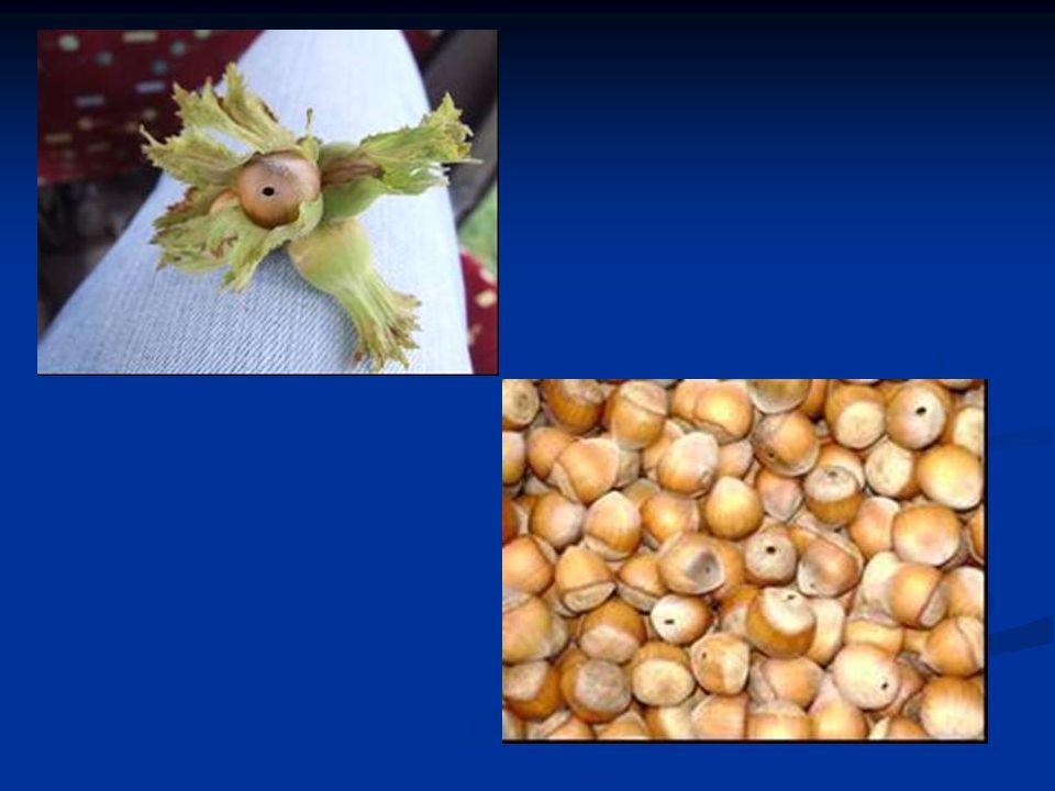 Zararı Ergin ve larvaler fındık meyvelerinde emgi yaparak zararlı olur.