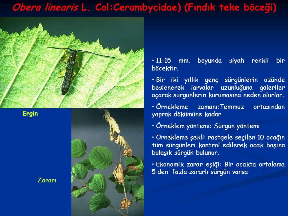Obera linearis L. Col:Cerambycidae) (Fındık teke böceği) Ergin Zararı 11-15 mm. boyunda siyah renkli bir böcektir. Bir iki yıllık genç sürgünlerin özü