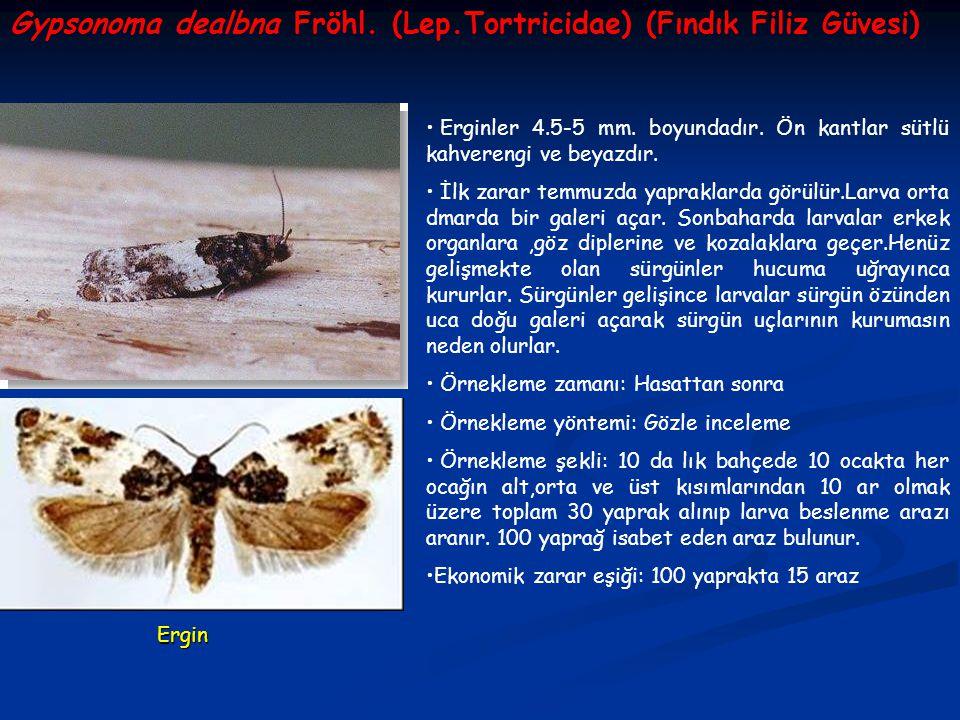 Gypsonoma dealbna Fröhl. (Lep.Tortricidae) (Fındık Filiz Güvesi) Erginler 4.5-5 mm. boyundadır. Ön kantlar sütlü kahverengi ve beyazdır. İlk zarar tem