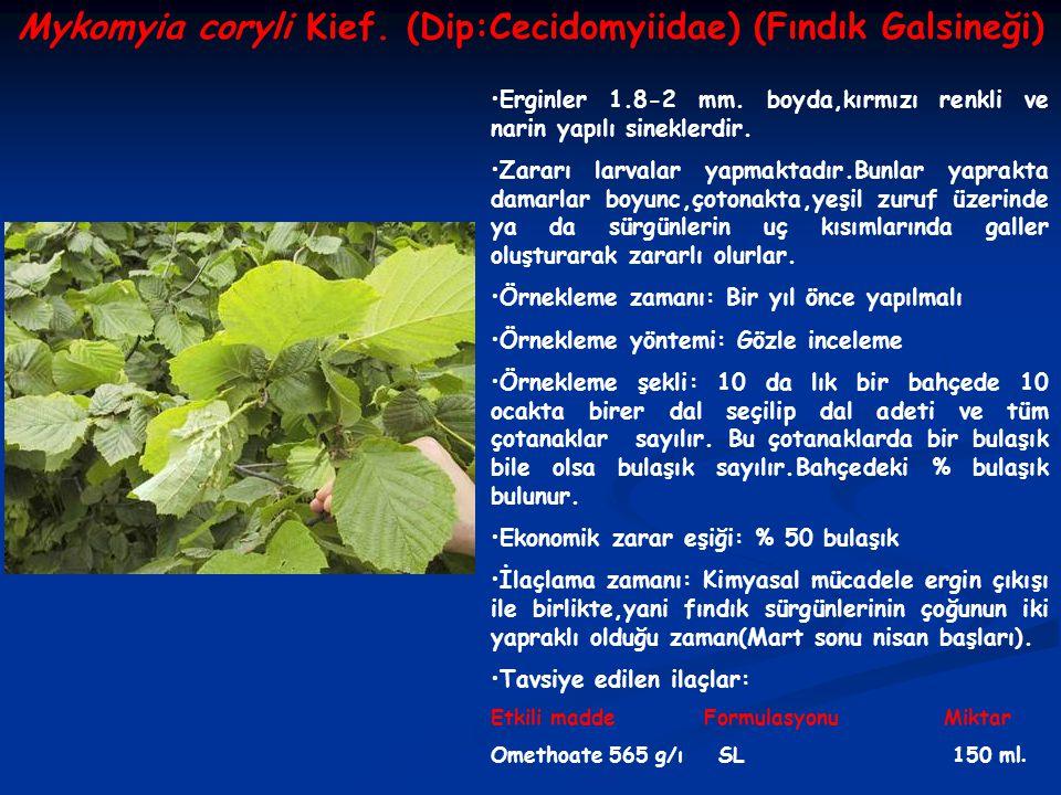 Mykomyia coryli Kief.(Dip:Cecidomyiidae) (Fındık Galsineği) Erginler 1.8-2 mm.
