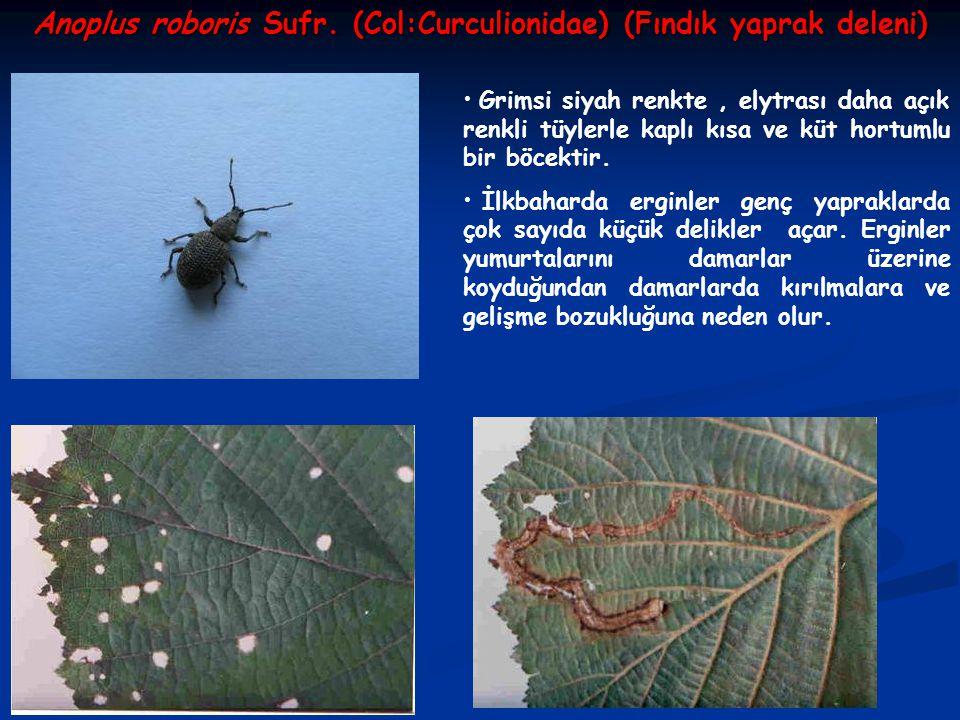 Anoplus roboris Sufr. (Col:Curculionidae) (Fındık yaprak deleni) Grimsi siyah renkte, elytrası daha açık renkli tüylerle kaplı kısa ve küt hortumlu bi