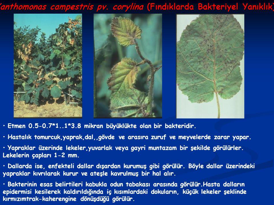 Xanthomonas campestris pv. corylina (Fındıklarda Bakteriyel Yanıklık) Etmen 0.5-0.7*1..1*3.8 mikran büyüklükte olan bir bakteridir. Hastalık tomurcuk,