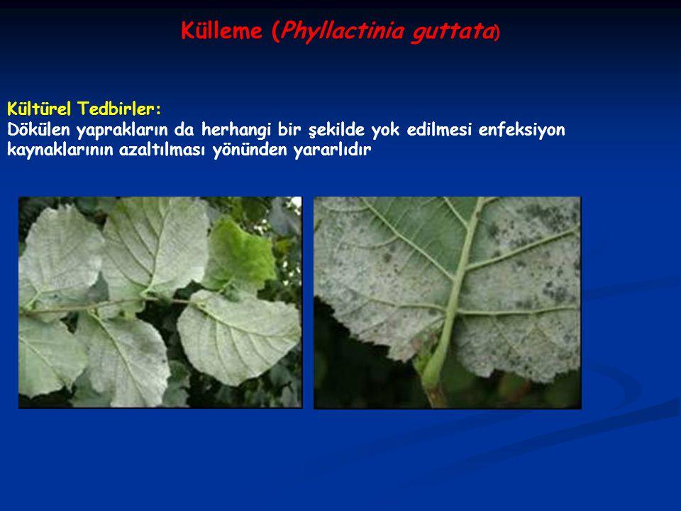Külleme (Phyllactinia guttata ) Kültürel Tedbirler: Dökülen yaprakların da herhangi bir şekilde yok edilmesi enfeksiyon kaynaklarının azaltılması yönü