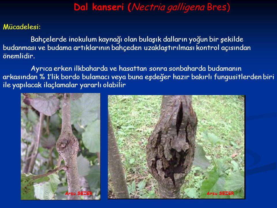 Dal kanseri (Nectria galligena Bres) Mücadelesi: Bahçelerde inokulum kaynağı olan bulaşık dalların yoğun bir şekilde budanması ve budama artıklarının