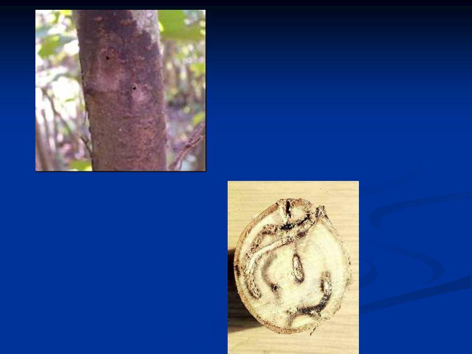 Armillaria Kök Çürüklüğü Hastalığı [Armillaria mellea (Vall.) Quel Kültürel mücadele Kuruyan ağaçları yalnızca kesip atmamalı, bunların kök ve gövdeleri topraktan çıkarılarak imha edilmeli ve yerine sönmemiş kireç dökülmelidir.