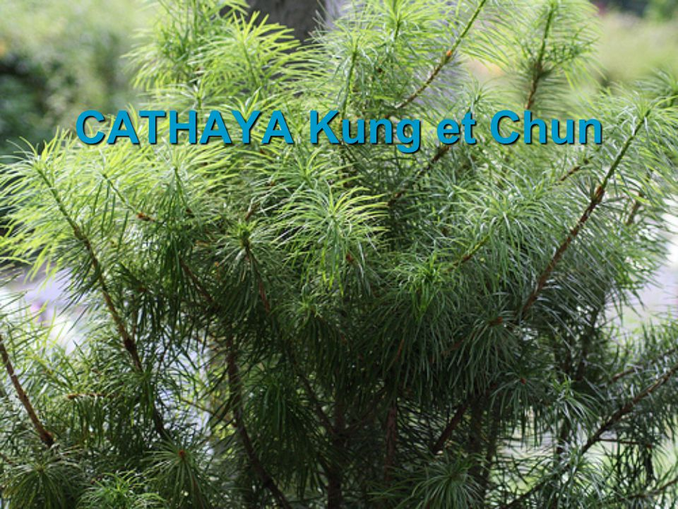 CATHAYA Kung et Chun