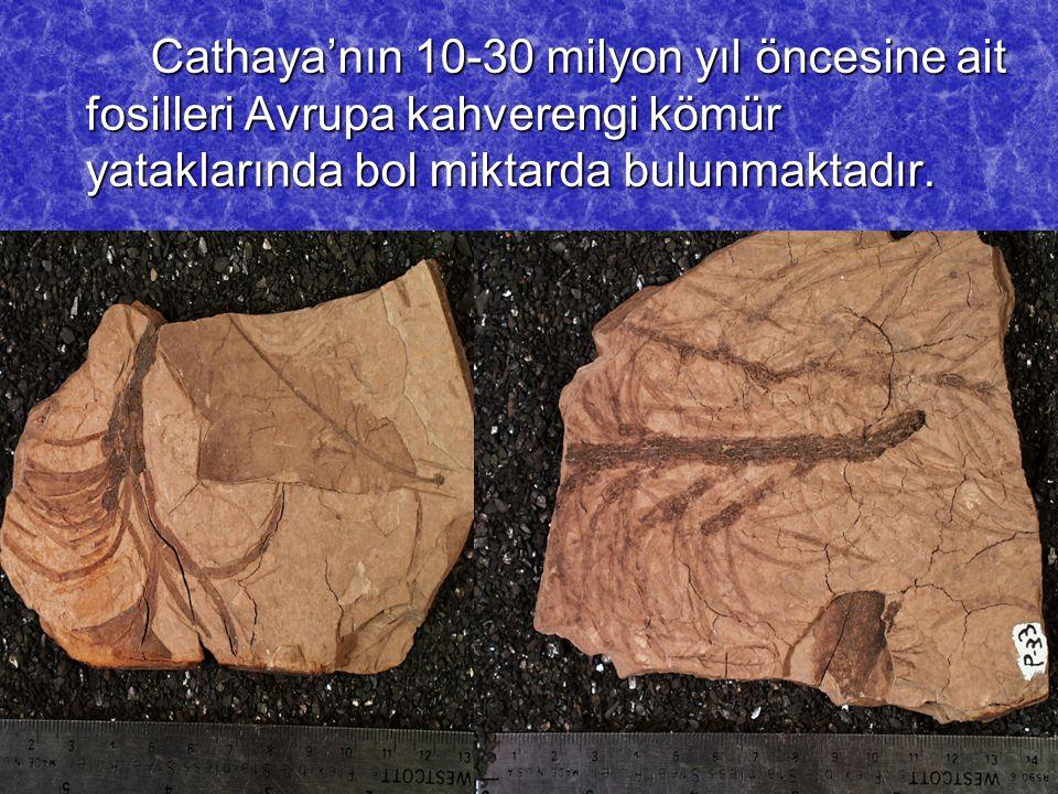 Cathaya'nın 10-30 milyon yıl öncesine ait fosilleri Avrupa kahverengi kömür yataklarında bol miktarda bulunmaktadır. Cathaya'nın 10-30 milyon yıl önce