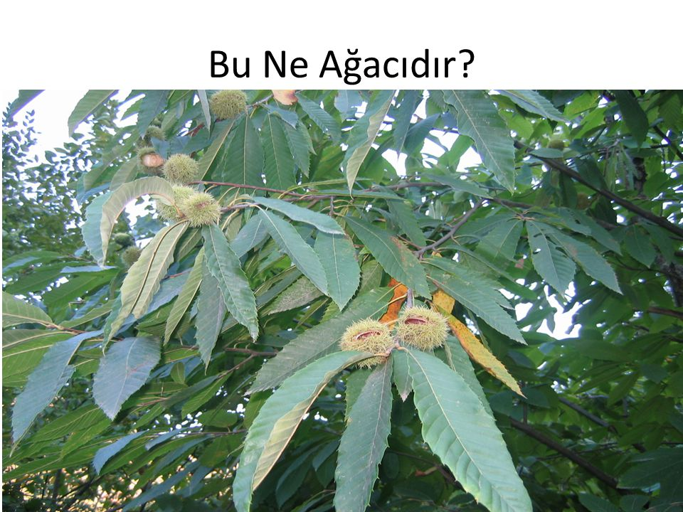 Bu Ne Ağacıdır?