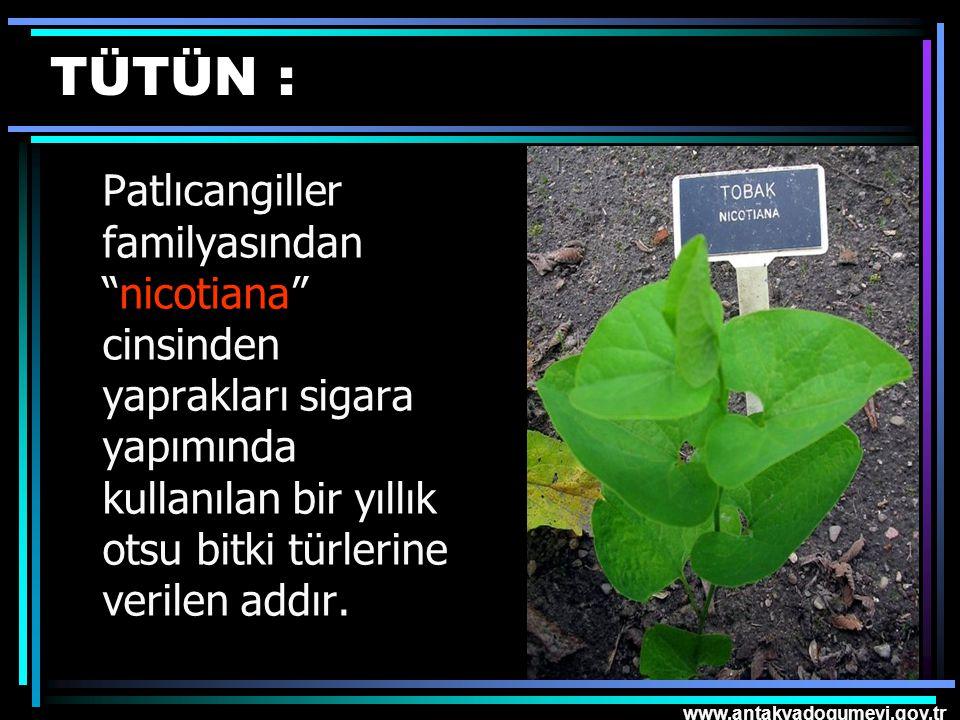 """www.antakyadogumevi.gov.tr TÜTÜN : Patlıcangiller familyasından """"nicotiana"""" cinsinden yaprakları sigara yapımında kullanılan bir yıllık otsu bitki tür"""