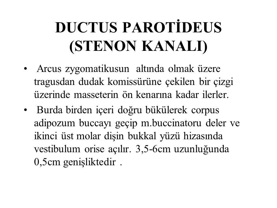 DUCTUS PAROTİDEUS (STENON KANALI) Arcus zygomatikusun altında olmak üzere tragusdan dudak komissürüne çekilen bir çizgi üzerinde masseterin ön kenarına kadar ilerler.