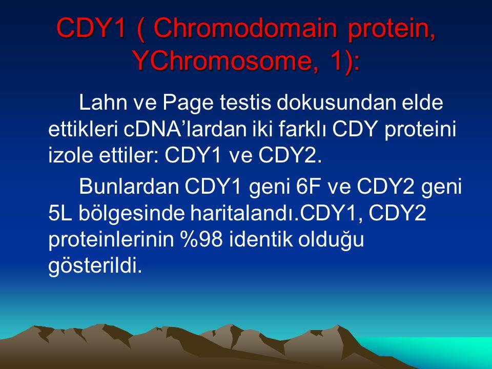 CDY1 ( Chromodomain protein, YChromosome, 1): Lahn ve Page testis dokusundan elde ettikleri cDNA'lardan iki farklı CDY proteini izole ettiler: CDY1 ve