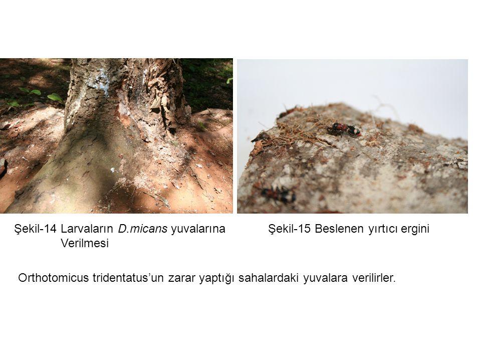 Orthotomicus tridentatus'un zarar yaptığı sahalardaki yuvalara verilirler.