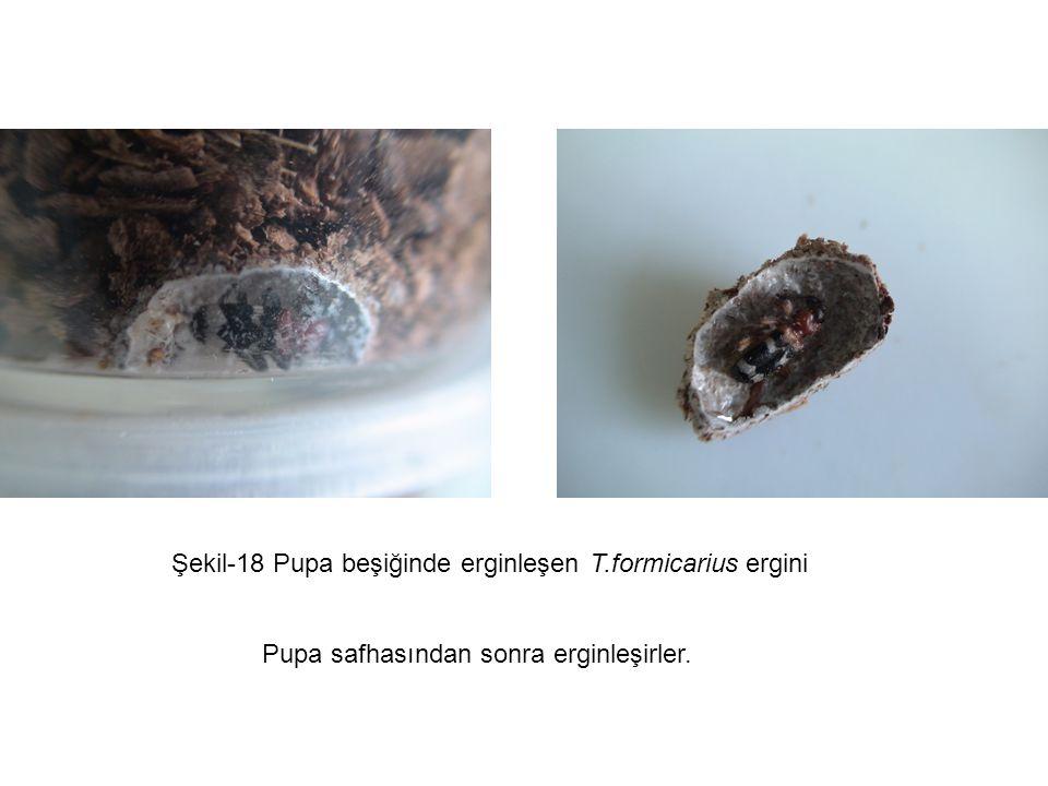 Şekil-18 Pupa beşiğinde erginleşen T.formicarius ergini Pupa safhasından sonra erginleşirler.