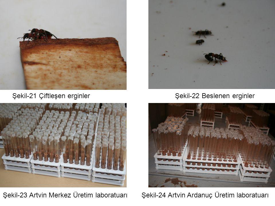 Şekil-21 Çiftleşen erginlerŞekil-22 Beslenen erginler Şekil-23 Artvin Merkez Üretim laboratuarıŞekil-24 Artvin Ardanuç Üretim laboratuarı