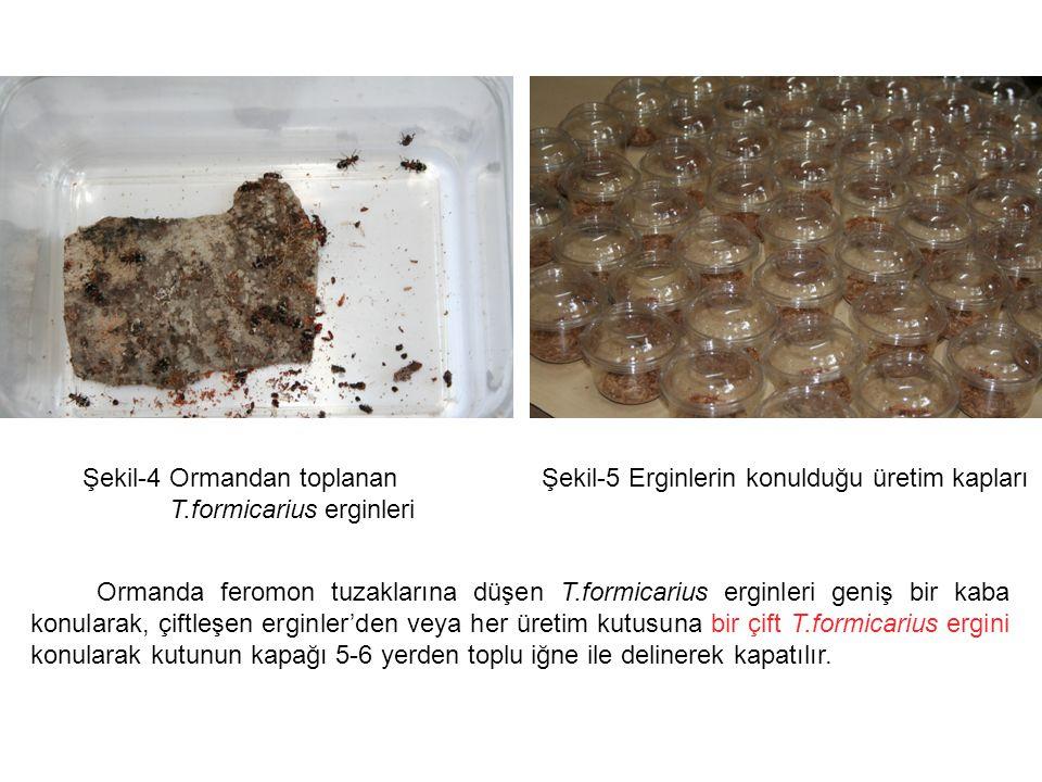Şekil-4 Ormandan toplanan T.formicarius erginleri Şekil-5 Erginlerin konulduğu üretim kapları Ormanda feromon tuzaklarına düşen T.formicarius erginleri geniş bir kaba konularak, çiftleşen erginler'den veya her üretim kutusuna bir çift T.formicarius ergini konularak kutunun kapağı 5-6 yerden toplu iğne ile delinerek kapatılır.