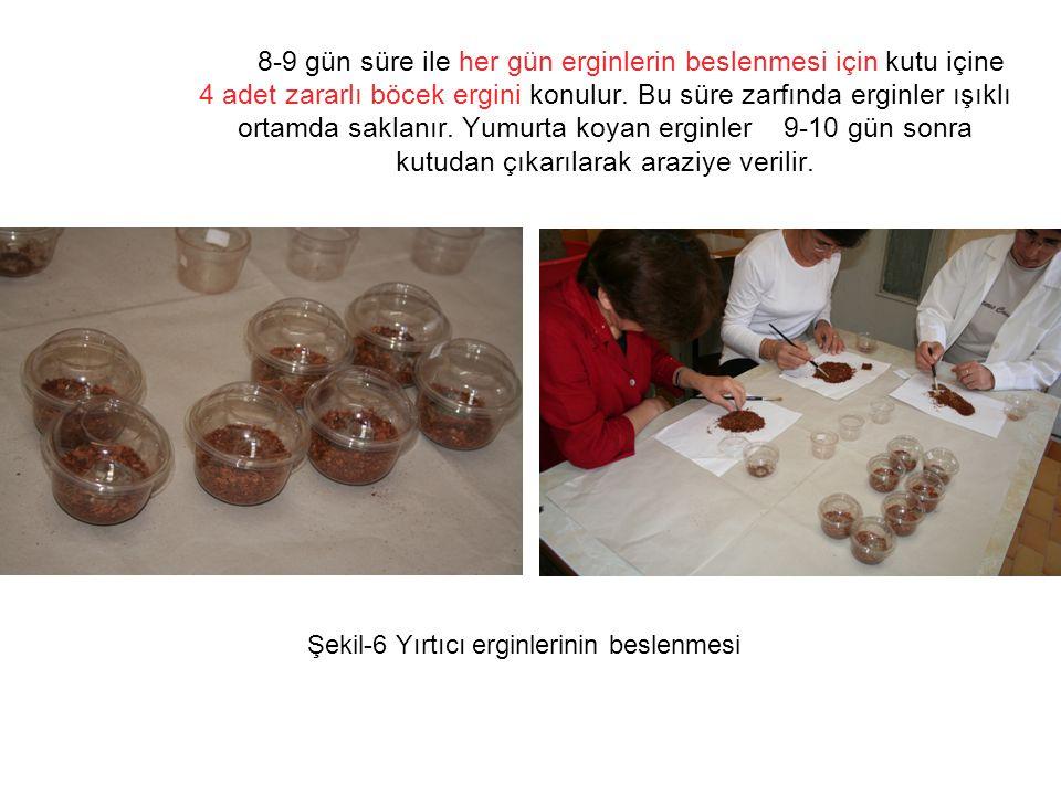 10'uncu günden sonra üretim kutuları kontrol edilerek yumurtadan çıkan birinci gömlek larvalar ayıklanarak, Şekil-7 Yumurtadan çıkan larvaların seçilmesi