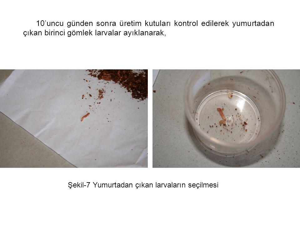 Şekil-8 Seçilen larvaların cam tüplere konulması her cam tüpe bir adet olmak üzere konur, cam tüp içine hafif nemlendirilmiş sedir talaşı ve 1 adet zararlı böcek larvası konularak laboratuara konur.