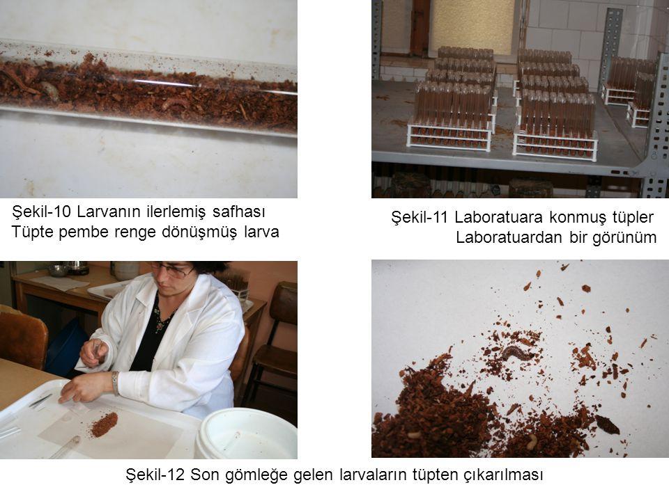 Şekil-10 Larvanın ilerlemiş safhası Tüpte pembe renge dönüşmüş larva Şekil-11 Laboratuara konmuş tüpler Laboratuardan bir görünüm Şekil-12 Son gömleğe gelen larvaların tüpten çıkarılması