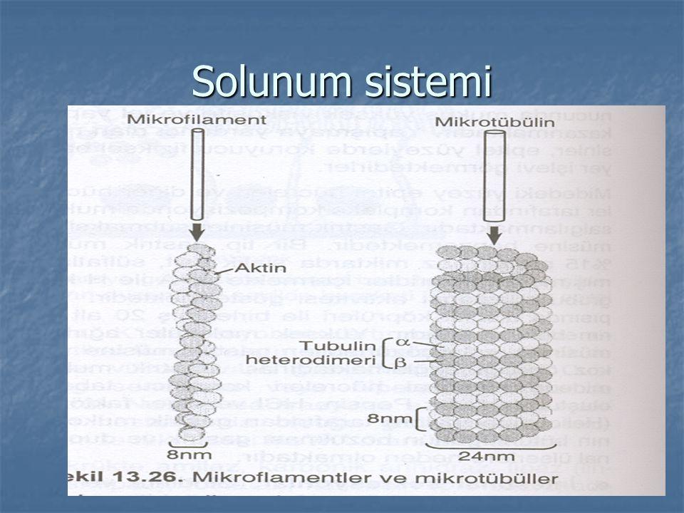 Böbrekler a – Böbreklerdeki epitel hücreler a – Böbreklerdeki epitel hücreler