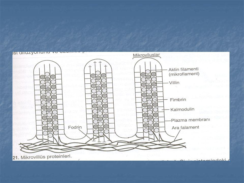 Epitel dokunun işlevleri Örtme ve koruma Örtme ve koruma Absorpsiyon Absorpsiyon Sekresyon Sekresyon Duyu reseptörleri Duyu reseptörleri Kontraktilite Kontraktilite