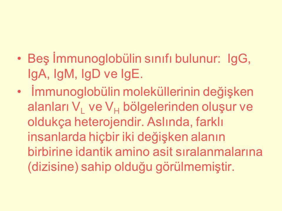 Beş İmmunoglobülin sınıfı bulunur: IgG, IgA, IgM, IgD ve IgE.