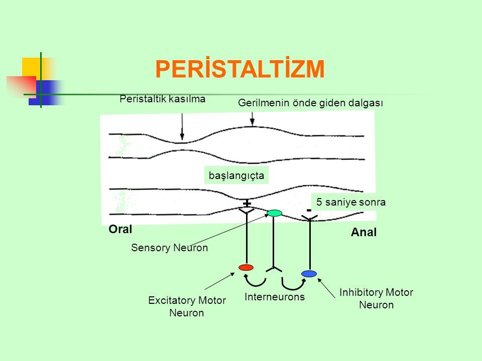 PERİSTALTİZM Peristaltik kasılma Gerilmenin önde giden dalgası başlangıçta 5 saniye sonra Oral Anal Sensory Neuron + - Excitatory Motor Neuron Inhibitory Motor Neuron Interneurons