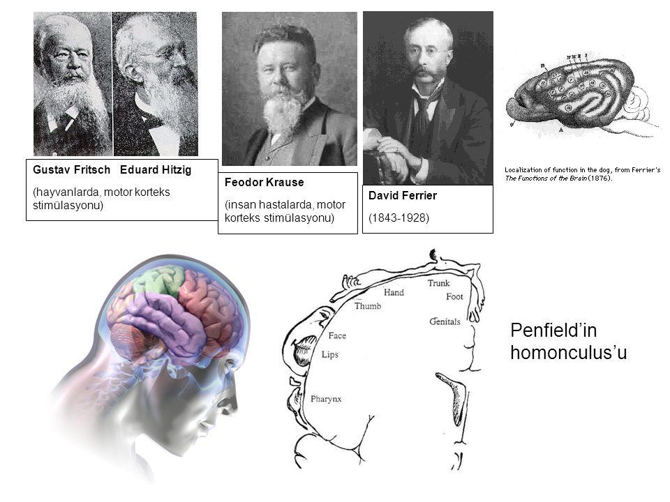 Penfield'in homonculus'u Feodor Krause (insan hastalarda, motor korteks stimülasyonu) Gustav Fritsch Eduard Hitzig (hayvanlarda, motor korteks stimüla