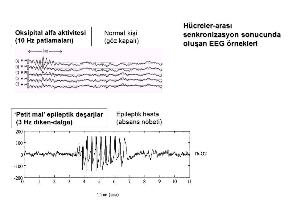 Oksipital alfa aktivitesi (10 Hz patlamaları) 'Petit mal' epileptik deşarjlar (3 Hz diken-dalga) (3 Hz diken-dalga) Normal kişi (göz kapalı) Epileptik hasta (absans nöbeti) Hücreler-arası senkronizasyon sonucunda oluşan EEG örnekleri
