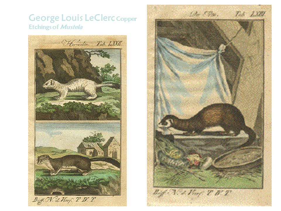 George Louis LeClerc Copper Etchings of Mustela