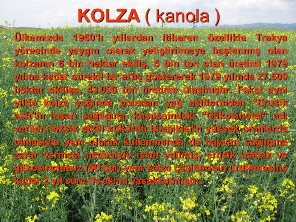 KOLZA ( kanola ) Ülkemizde 1960'lı yıllardan itibaren özellikle Trakya yöresinde yaygın olarak yetiştirilmeye başlanmış olan kolzanın 6 bin hektar eki