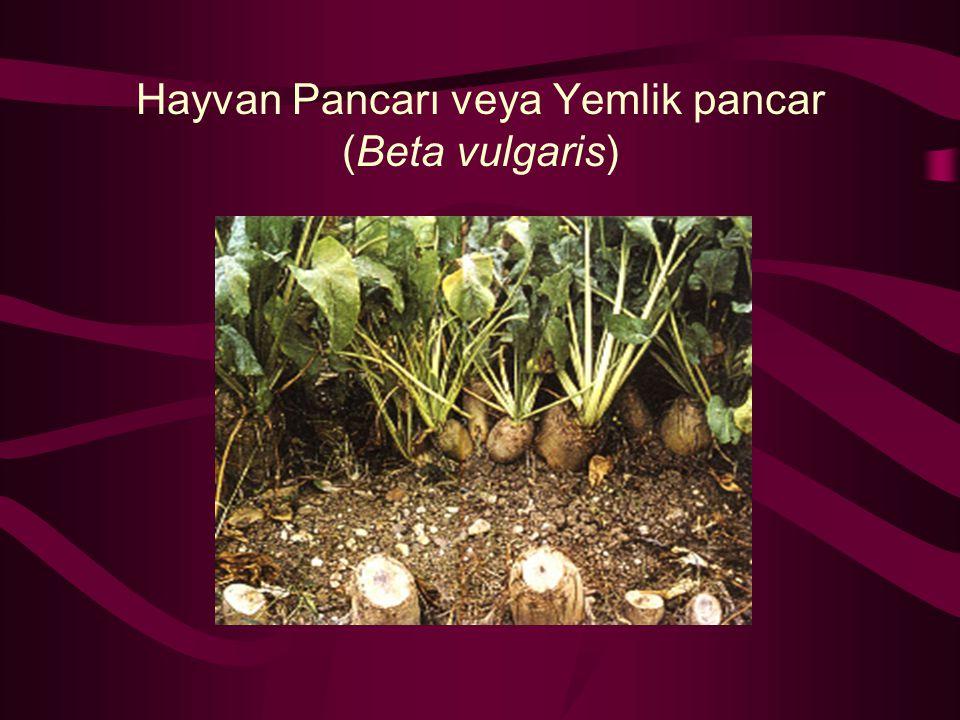 Hayvan Pancarı veya Yemlik pancar (Beta vulgaris)