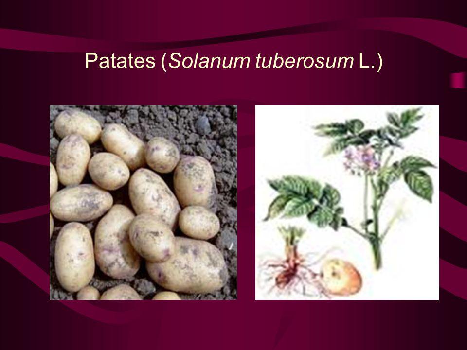 Yer Elması (Helianthus tuberosus L.)
