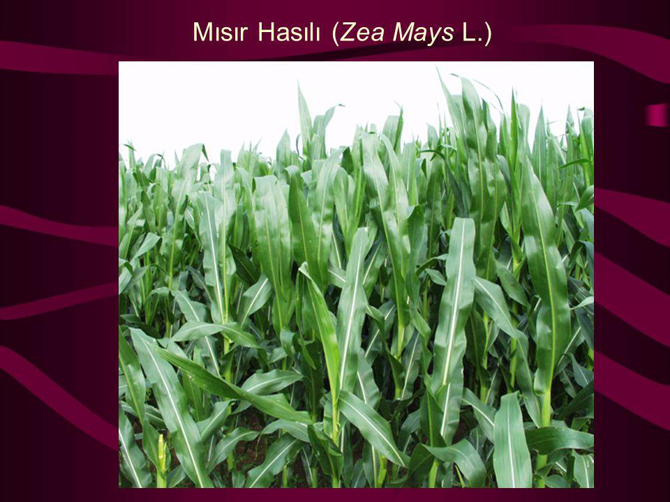 Mısır Hasılı (Zea Mays L.)