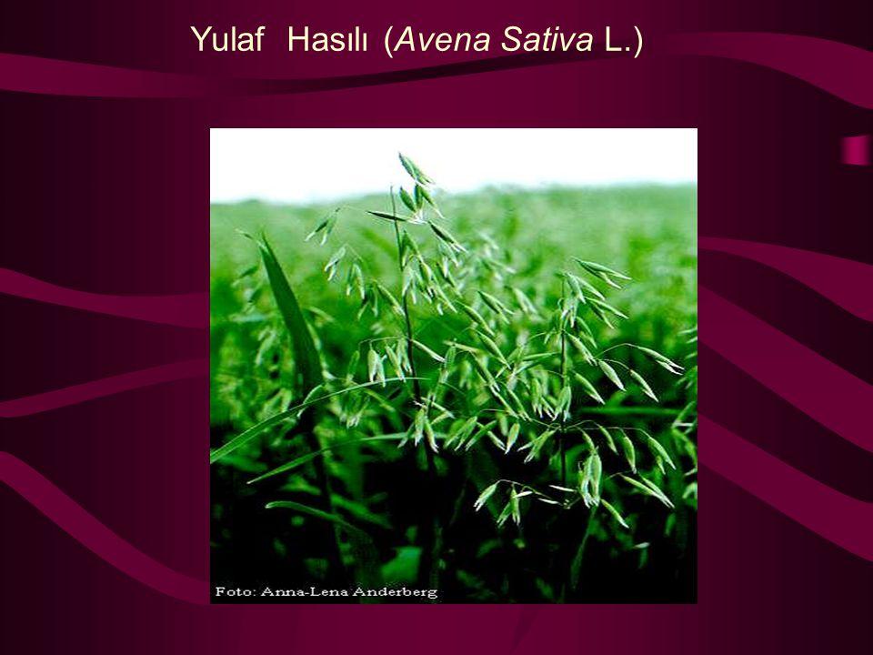 Yulaf Hasılı (Avena Sativa L.)