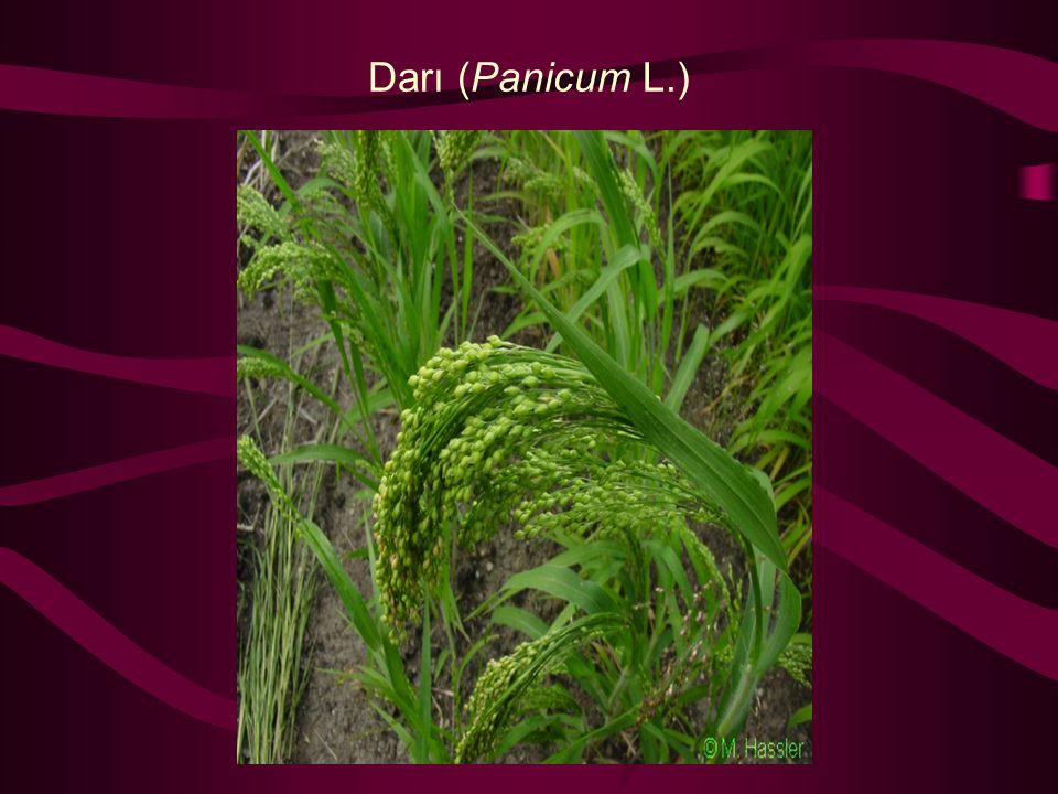 Darı (Panicum L.)