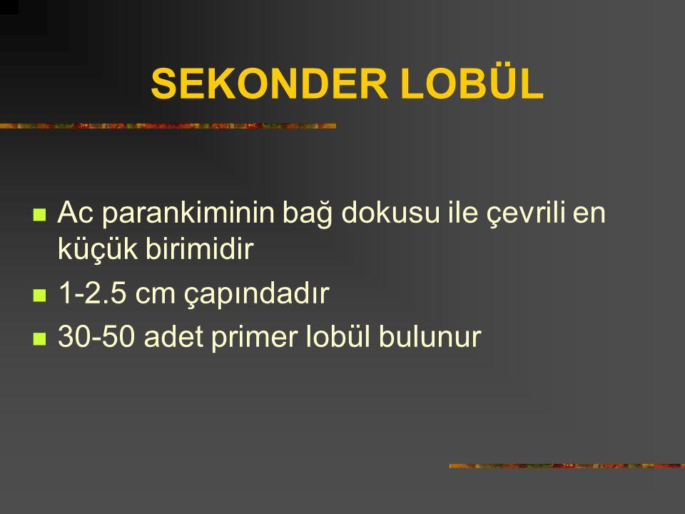 SEKONDER LOBÜL Ac parankiminin bağ dokusu ile çevrili en küçük birimidir 1-2.5 cm çapındadır 30-50 adet primer lobül bulunur