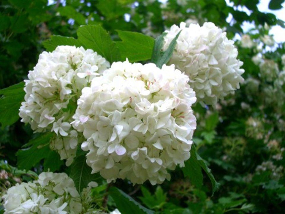 Familya : Caprifoliaceae (Hanımeligiller) Türkçe adı : Herdemye ş il kartopu,filburnu Türkiye de do ğ al olarak yeti ş ir.
