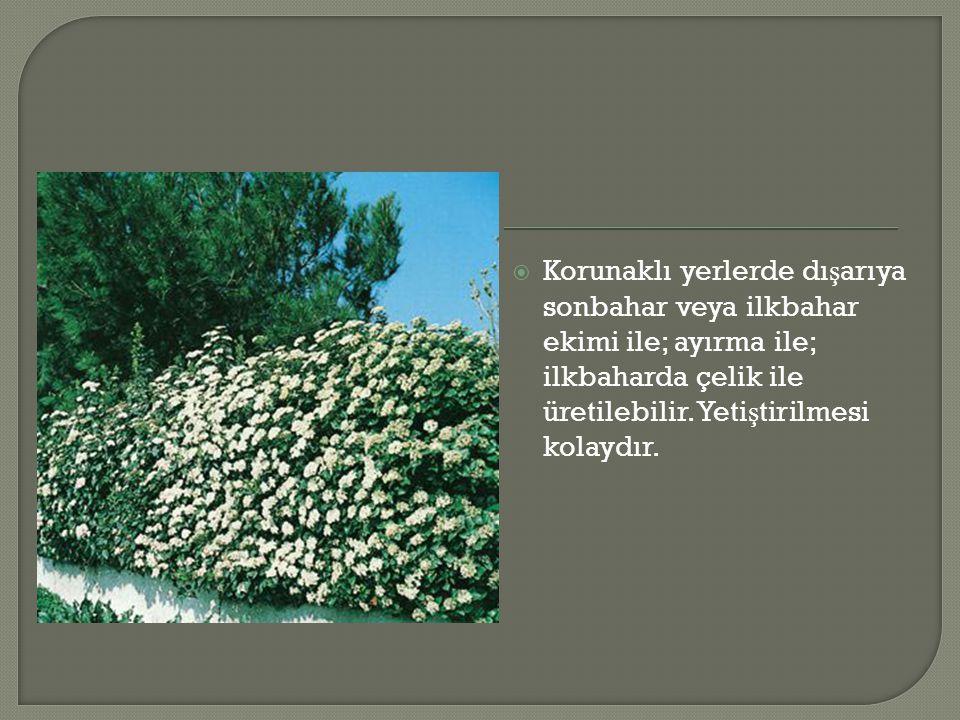  Korunaklı yerlerde dı ş arıya sonbahar veya ilkbahar ekimi ile; ayırma ile; ilkbaharda çelik ile üretilebilir. Yeti ş tirilmesi kolaydır.