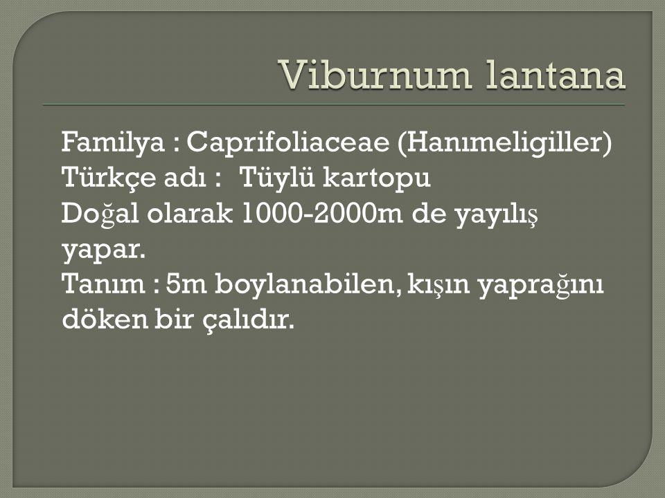 Familya : Caprifoliaceae (Hanımeligiller) Türkçe adı : Tüylü kartopu Do ğ al olarak 1000-2000m de yayılı ş yapar. Tanım : 5m boylanabilen, kı ş ın yap