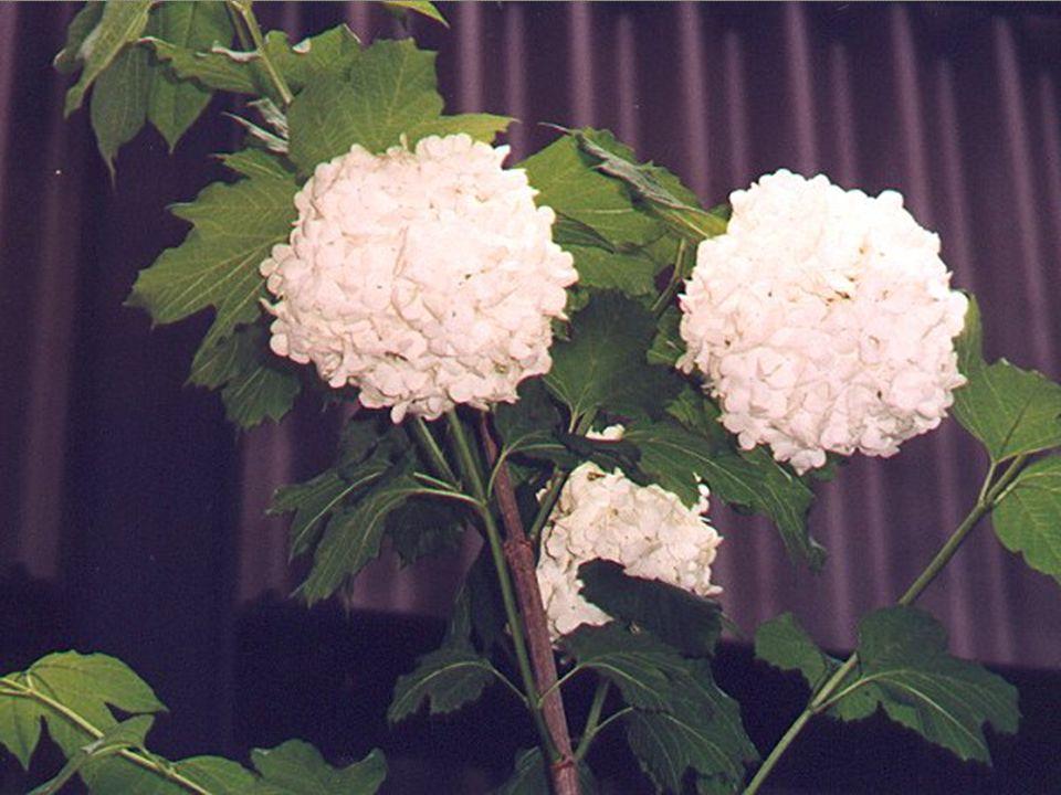Familya : Caprifoliaceae (Hanımeligiller) Türkçe adı : Tüylü kartopu Do ğ al olarak 1000-2000m de yayılı ş yapar.
