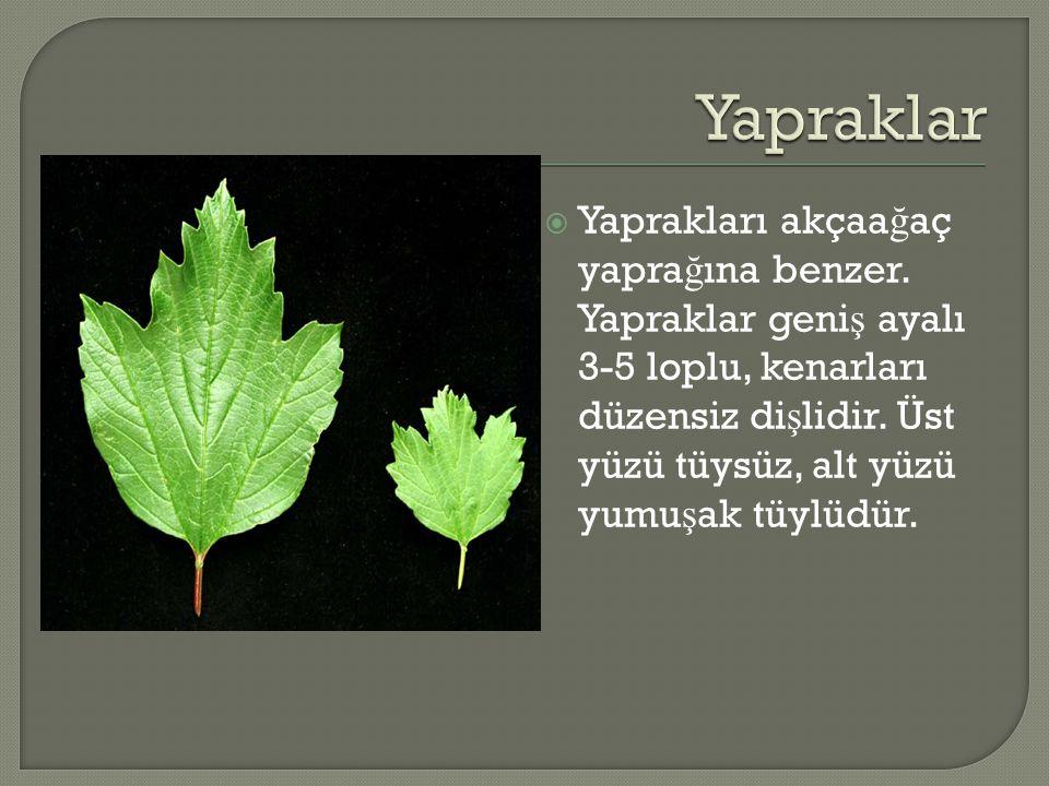  Yaprakları akçaa ğ aç yapra ğ ına benzer. Yapraklar geni ş ayalı 3-5 loplu, kenarları düzensiz di ş lidir. Üst yüzü tüysüz, alt yüzü yumu ş ak tüylü