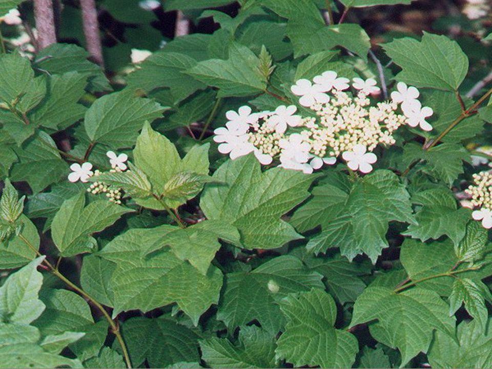  Çiçekler beyaz olup, ilkbaharda açar, top ş eklindedir.
