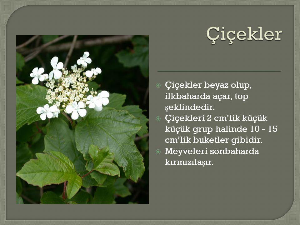  Çiçekler beyaz olup, ilkbaharda açar, top ş eklindedir.  Çiçekleri 2 cm'lik küçük küçük grup halinde 10 - 15 cm'lik buketler gibidir.  Meyveleri s