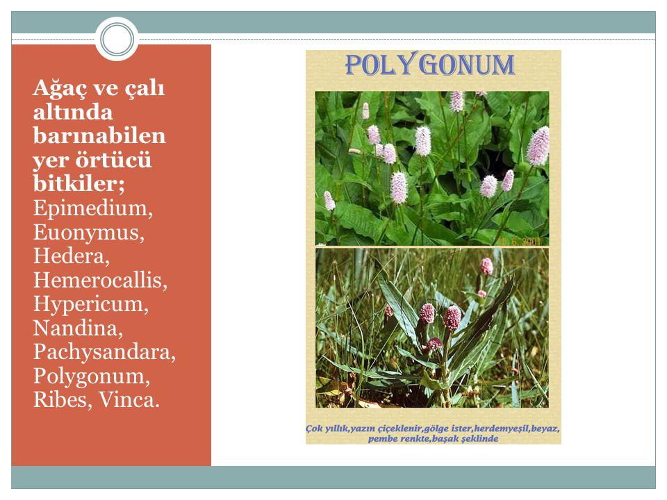 Ağaç ve çalı altında barınabilen yer örtücü bitkiler; Epimedium, Euonymus, Hedera, Hemerocallis, Hypericum, Nandina, Pachysandara, Polygonum, Ribes, V