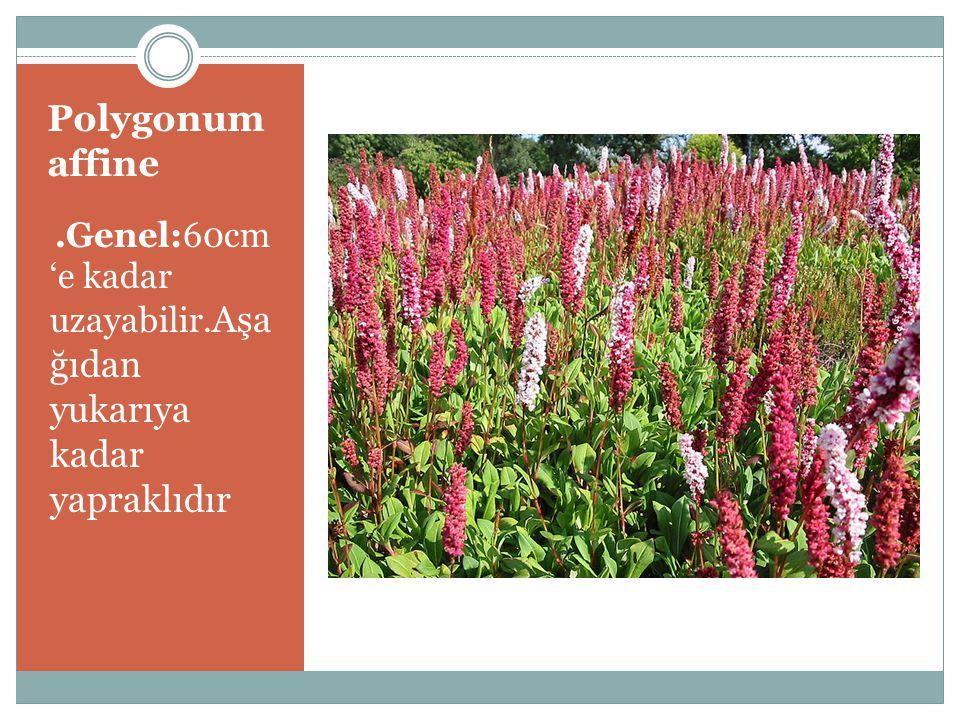 .Çiçek:Küçük ve sayıca fazla çiçekleri vardır.Koyu kırmızı-pembe rengindedir;il k 3-5 yıl içinde çok fazla çiçek verir.