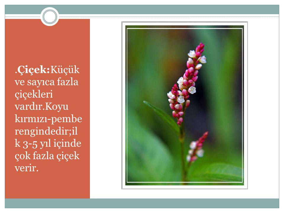 Yaprak:Soluk yeşil rengindedir;sonbahar renklenmesinde bronz rengini alır.Genişçe ve mızrak şeklindedir.