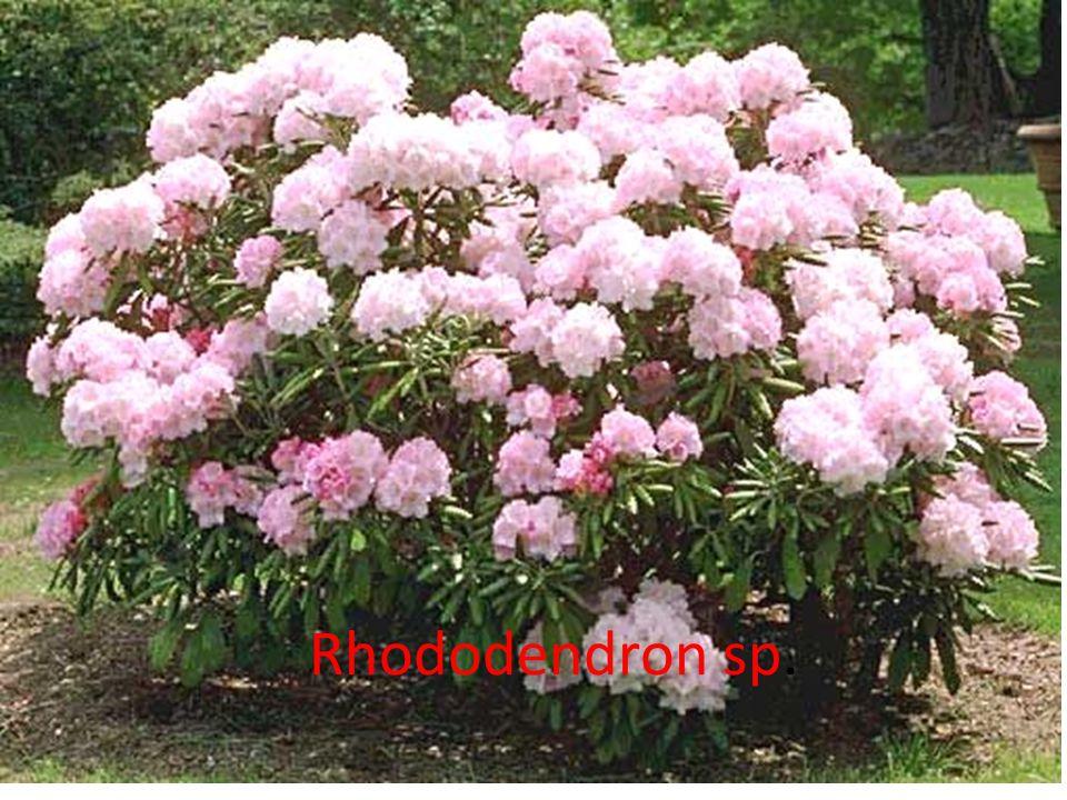 Ormangülü, fundagiller (Ericaceae) familyasından Rhododendron cinsinin 800 kadar türünü içeren çiçekli bitkilerin ortak adı.