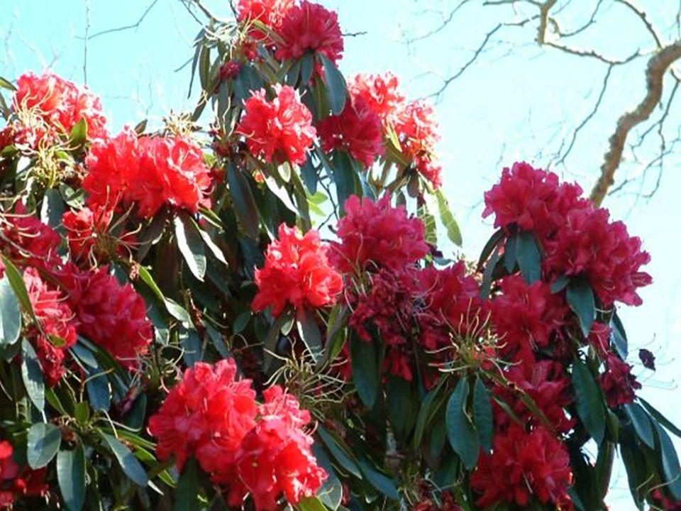 Bu cinse bağlı türlerin gövdeleri çalı, nadiren de büyük ağaçlardır, en ufak tür 10-20 cm, R.