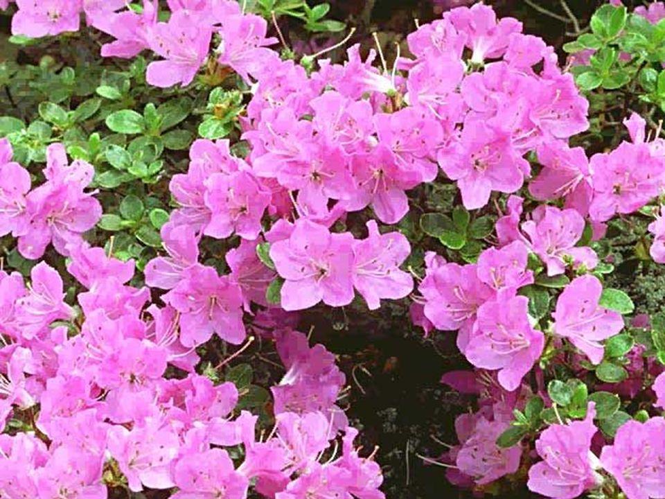 Rhododendron campanulatum